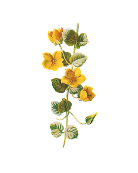 26. rock rose.png