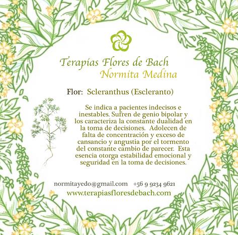 16. Scleranthus (Escleranto) 27.png