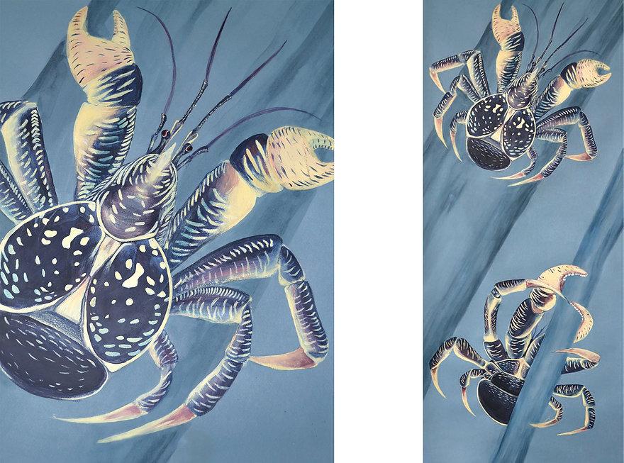 crabe des cocotiers illustration scientifique diane rottner