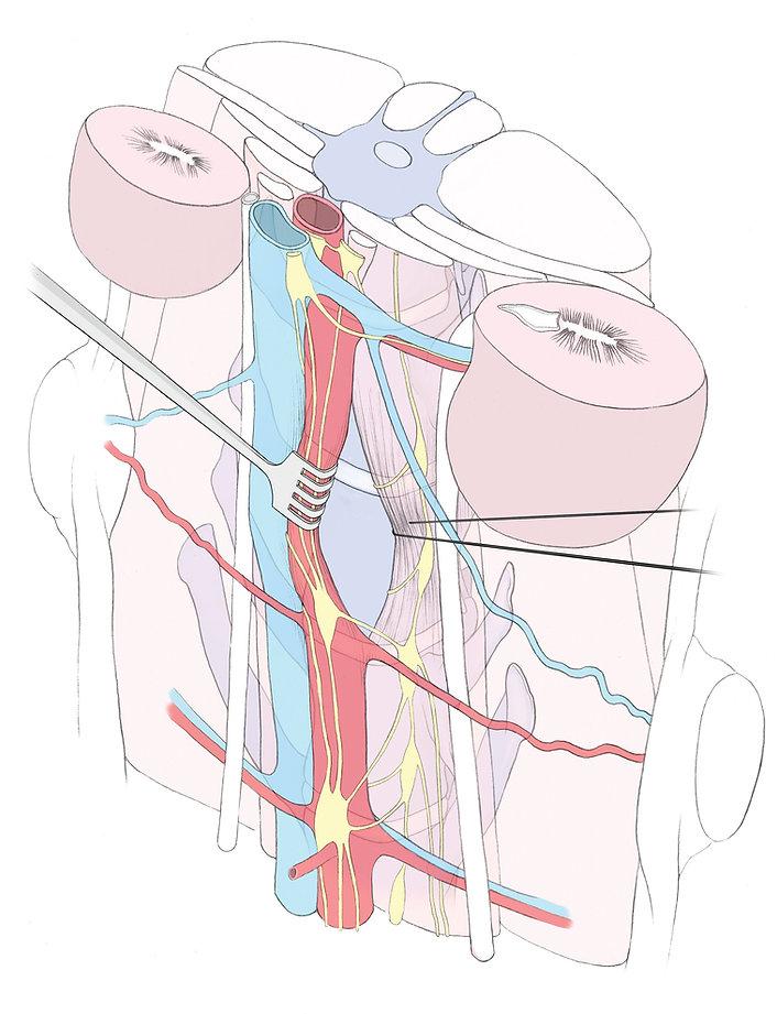 illustration médicale illustraton scintiique vertèbre rein diane rottner