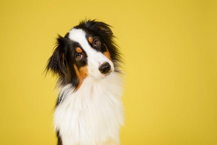 Australian Shepherd Dog in Studio on Yellow Background.jpg