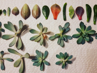 Backyard Gardening: Succulent Propagation