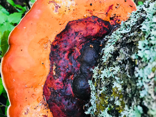 Red Belted Mushroom: A Powerful Ally