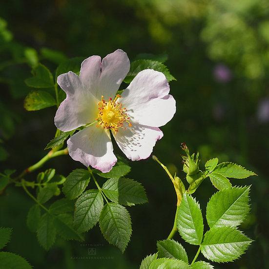 Rosehip Flower