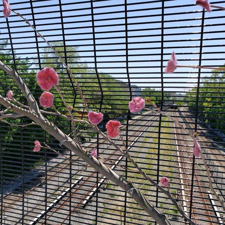 do cherry blossoms grow on bridges?