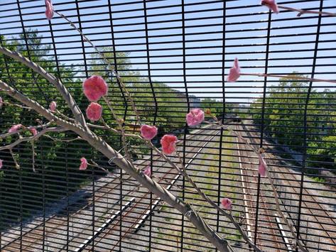 do cherry blossoms grow on bridges?