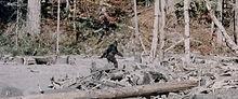 patterson-bigfoot-footage-stabilized.jpg