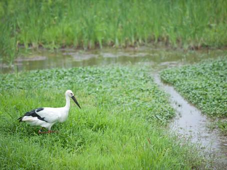 コウノトリ育むお米・農法とは?|こめがたり お米の話