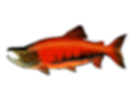 Salmon%20X2D_edited.png