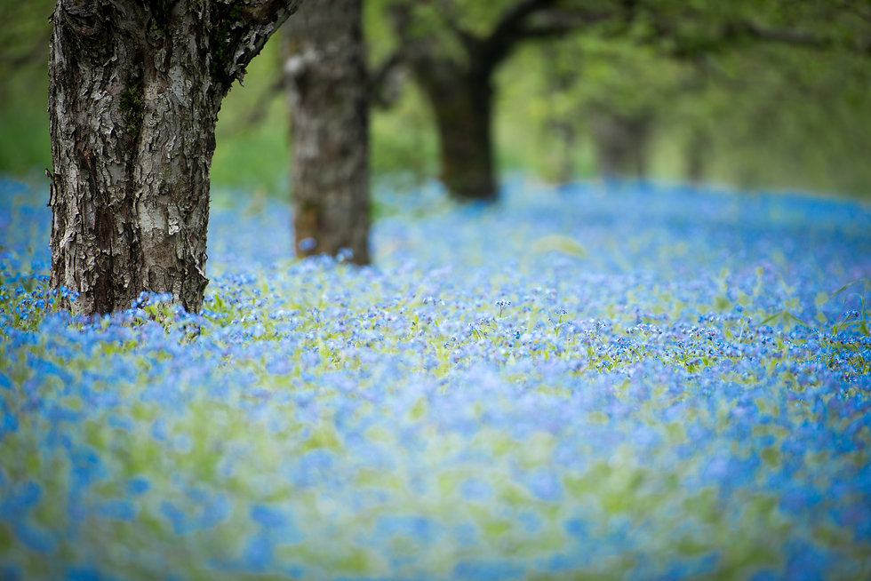 forget me not flowers in an orchard.jpg