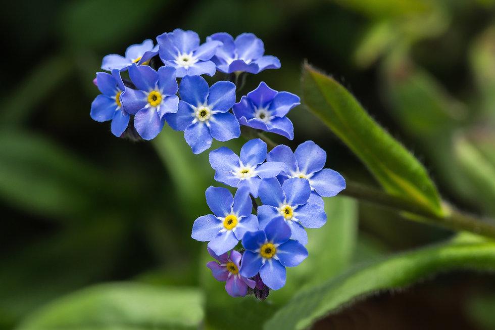 Forget-me-not flower.jpg