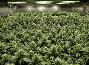 Cannabis and COVID-19: Cultivation During A Pandemic