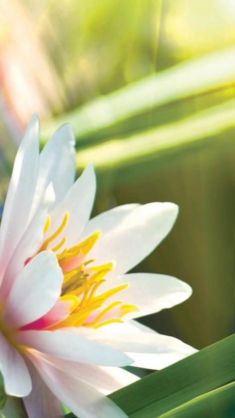 Indian Lotus Blossom