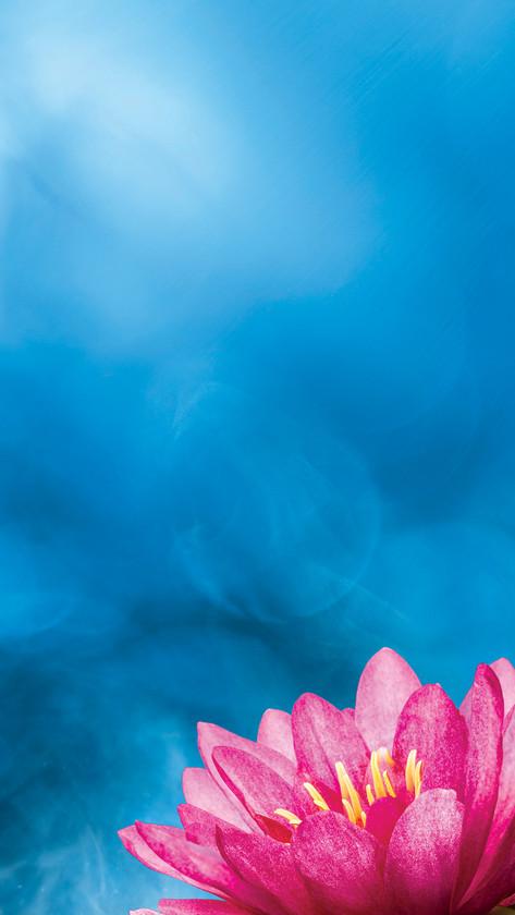 Pink Lotus on Blue