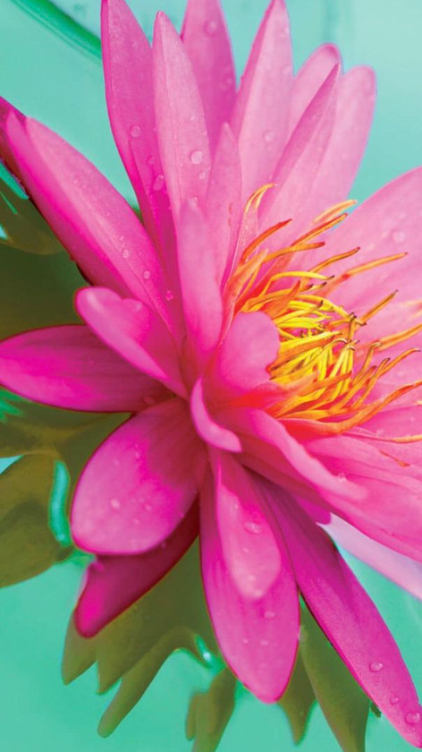 Pink Lotus Flower on Lily