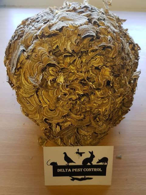 what does a wasps nest look like? pest control coventry