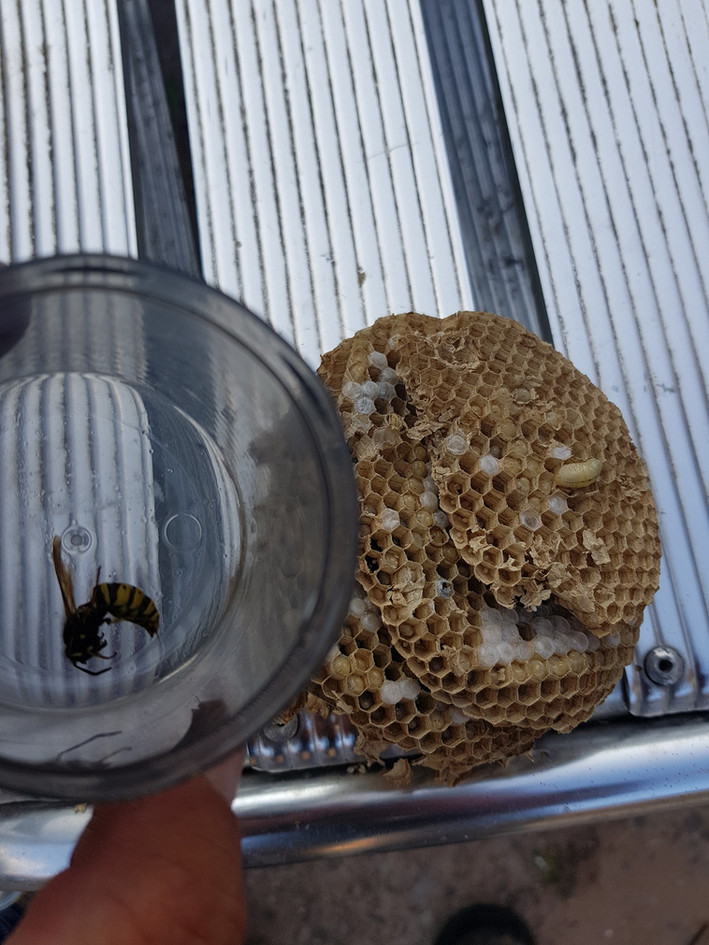 Wasp Removal Coventry