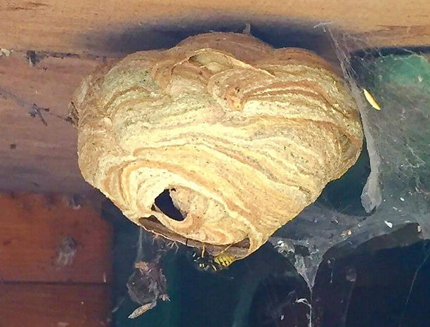 wasp nest and wasp