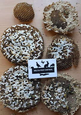 wasp nest removal pest control