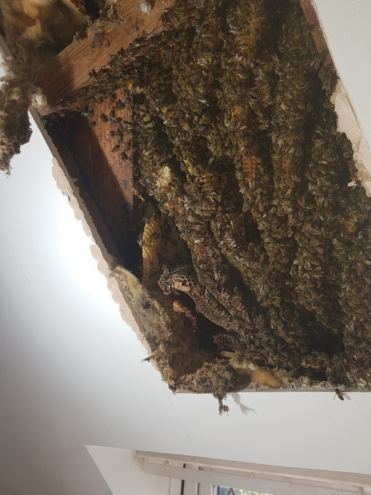 honey bees in house removal