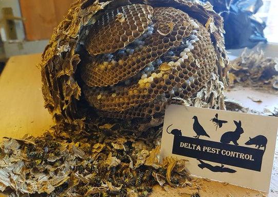 pest control wasp nest