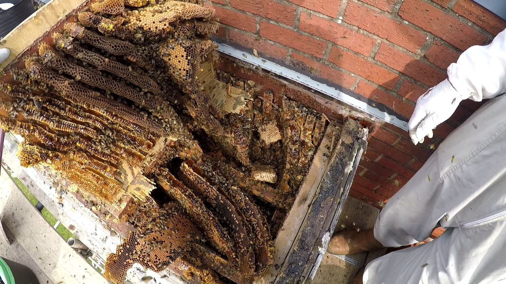 huge honey bee hive removal coventry