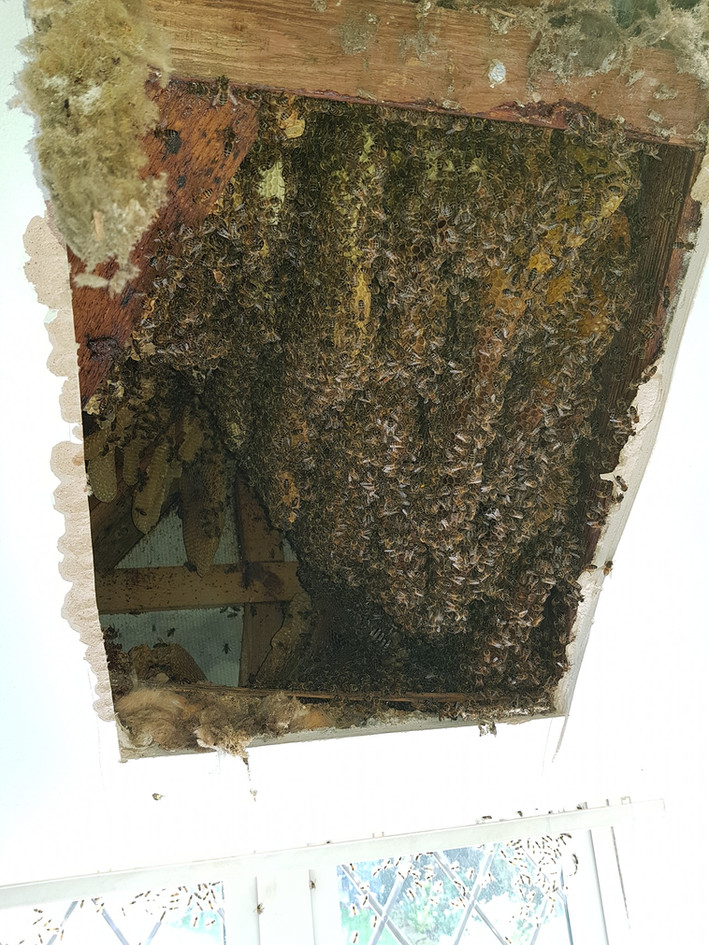 honey bees in house safe removal
