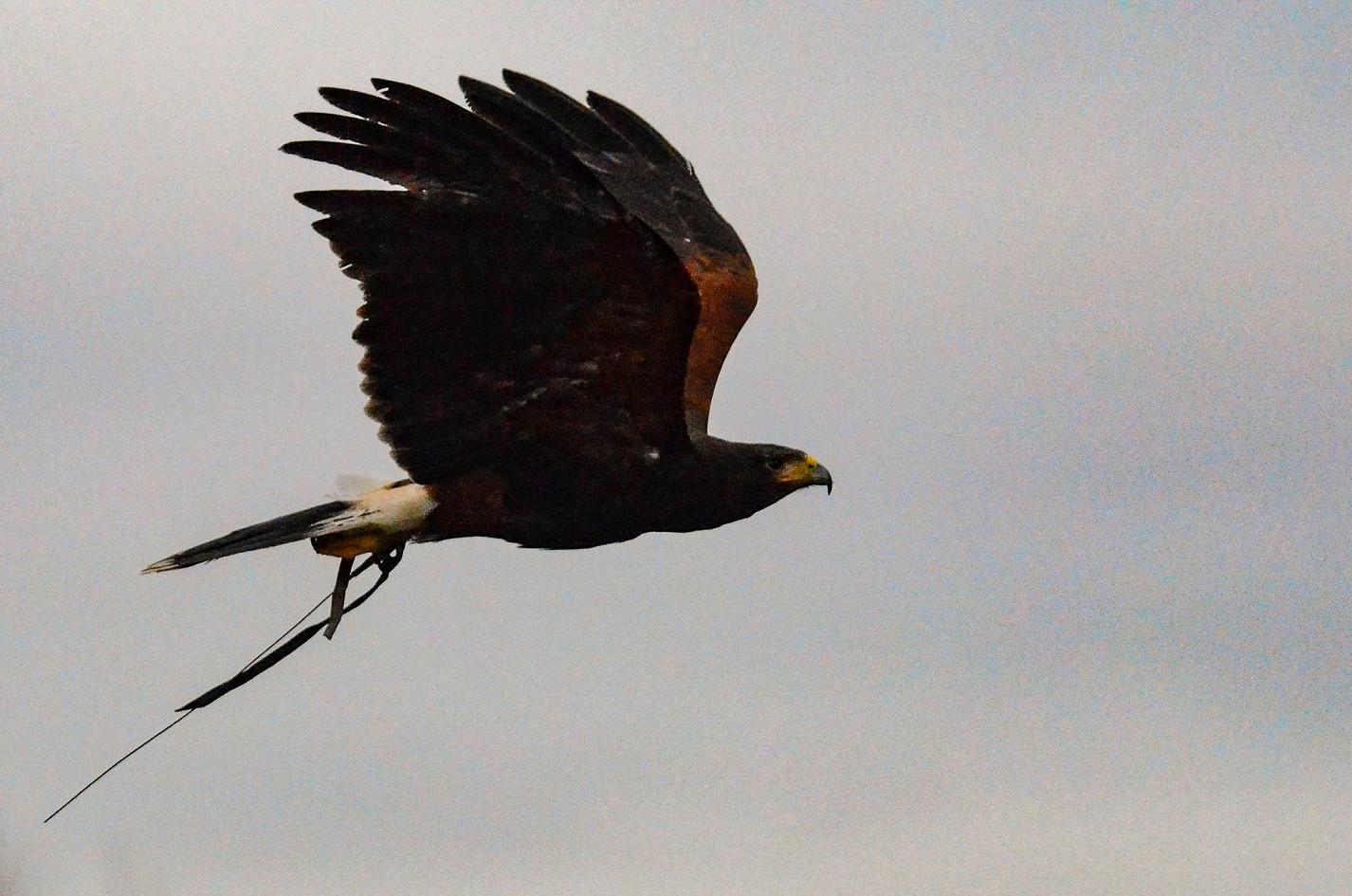 bird of prey pest control coventry