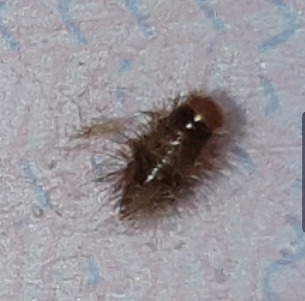"""woolly bear"" carpet beetle larvae"