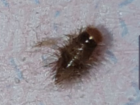 Carpet Beetles... and how to get rid of them!
