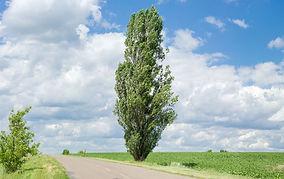 lombardy-poplar-big-253aec60eaec43349e30