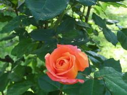 Rosa en Primavera