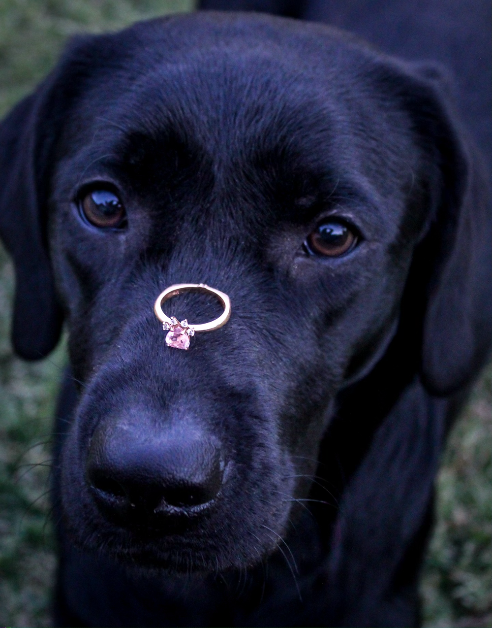 Dog with engagement ring on nose