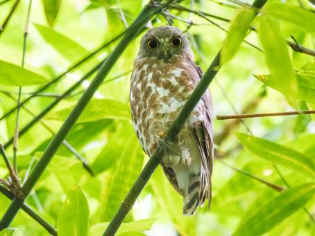 Of Birding and Boobooks in Ranibari
