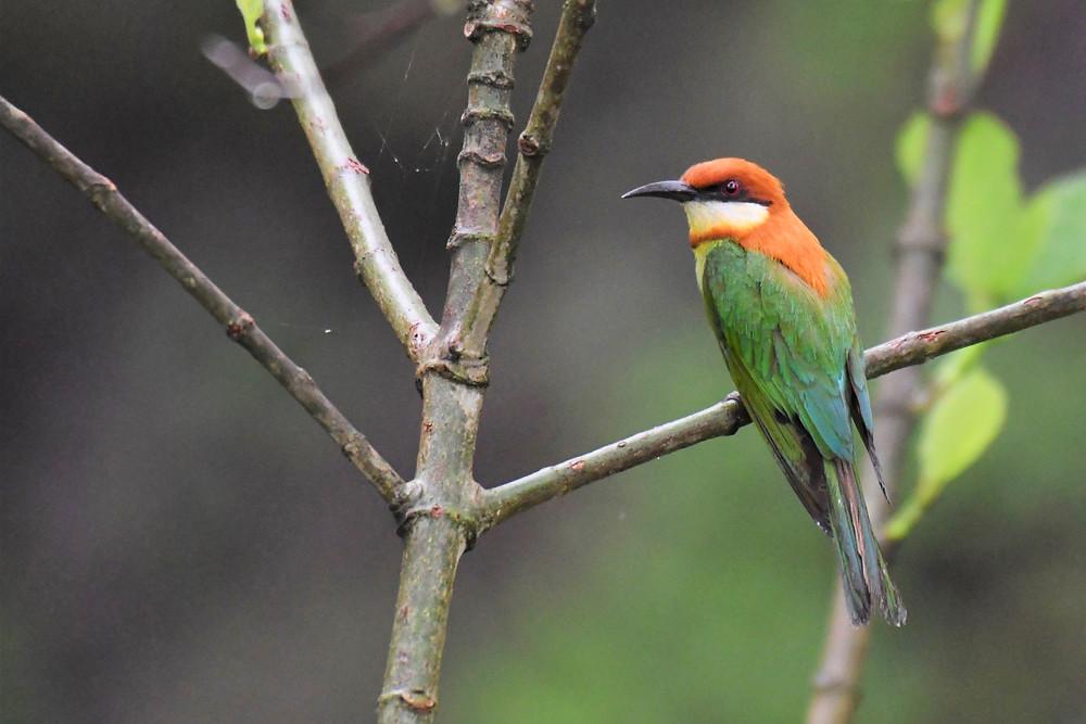 Spring Birding Around Sangla - photo#5