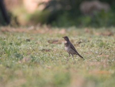Backyard Birding in Sangla