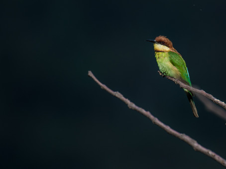 A Session with Bee-eaters