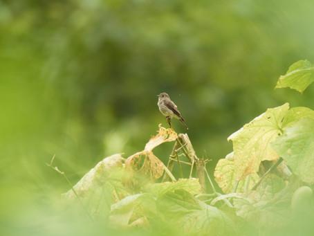 More Birding in Phulbari