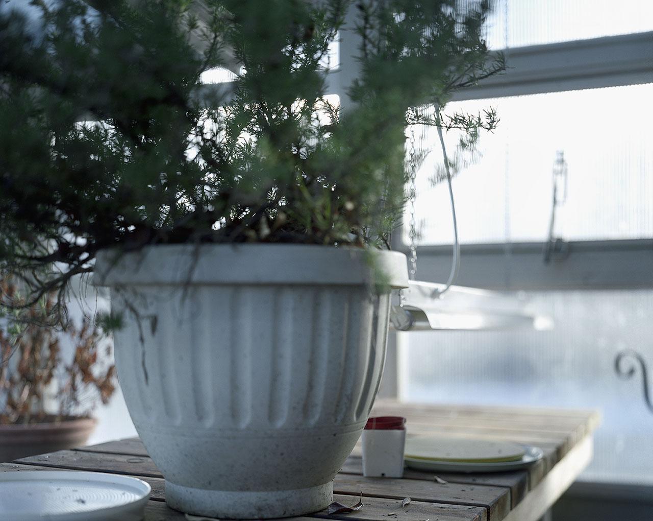 Rosemary in Winter