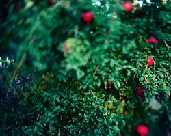 Pomegranates in Season