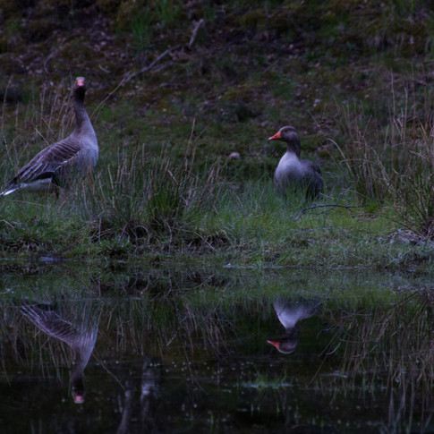 Oies Sauvages - Aviemore