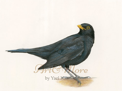 Small Blackbird Art Print