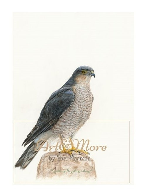 Eurasian Sparrowhawk Small Artprint  הדפס קטן נץ מצוי
