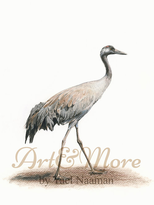 Original Drawing Common Crane