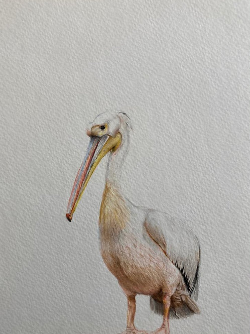 Original drawing, pelican  ציור מקור שקנאי