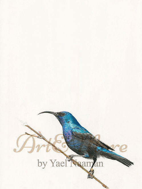 Original Drawing Palestine Sunbird, male
