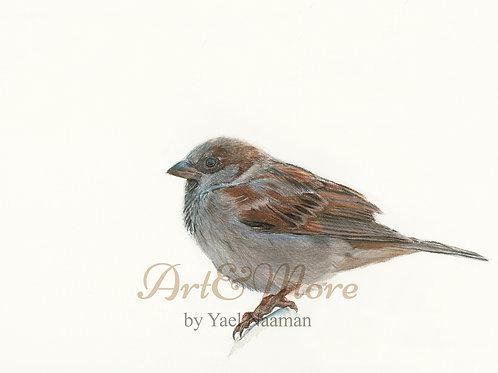 Original Drawing House sparrow