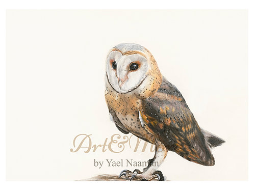 Large Barn owl  Art Print