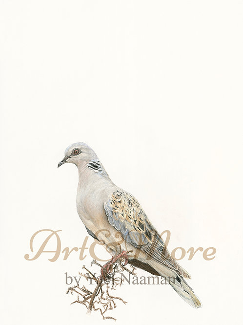 Original Drawing Turtle Dove
