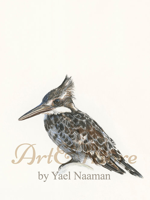 Small Pied Kingfisher Art Print